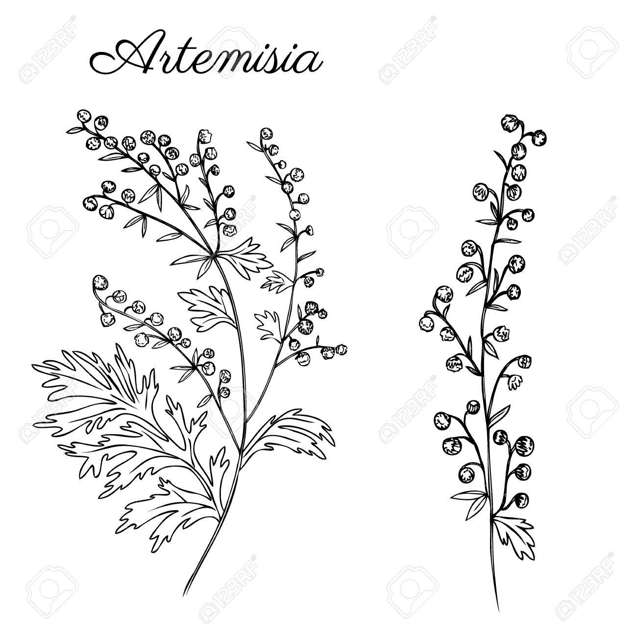 1300x1300 Artemisia Absinthium, Wormwood Hand Drawn Vector Ink Sketch