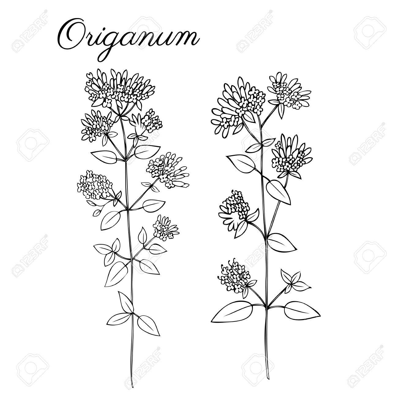 1300x1300 Blossoming Oregano Flowers Vector Ink Doodle Sketch Hand Drawn