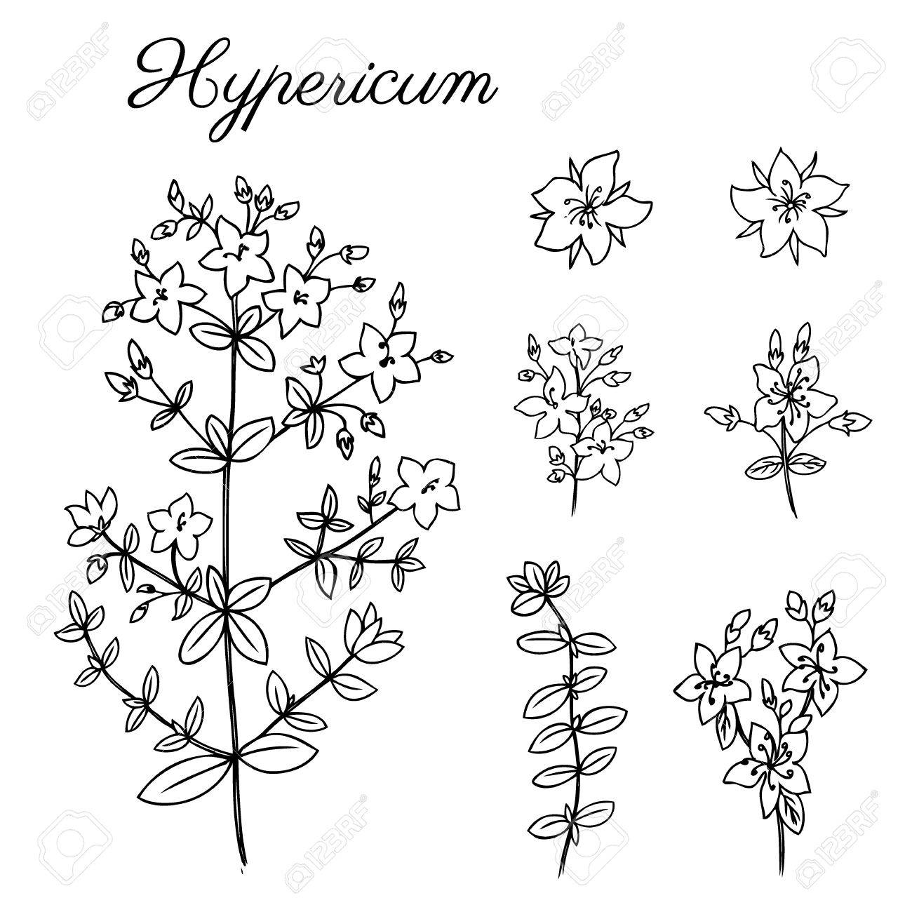 1300x1300 Hypericum, St. Johns Wort Or Hartheu Branch Vector Sketch Hand