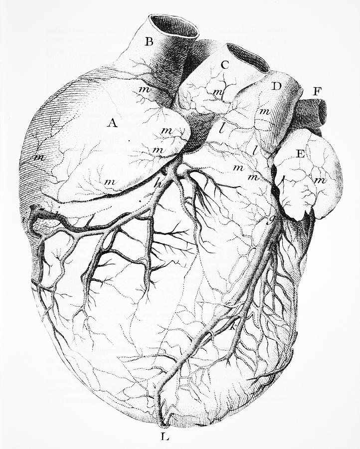 722x900 Heart Anatomy, 18th Century Photograph By