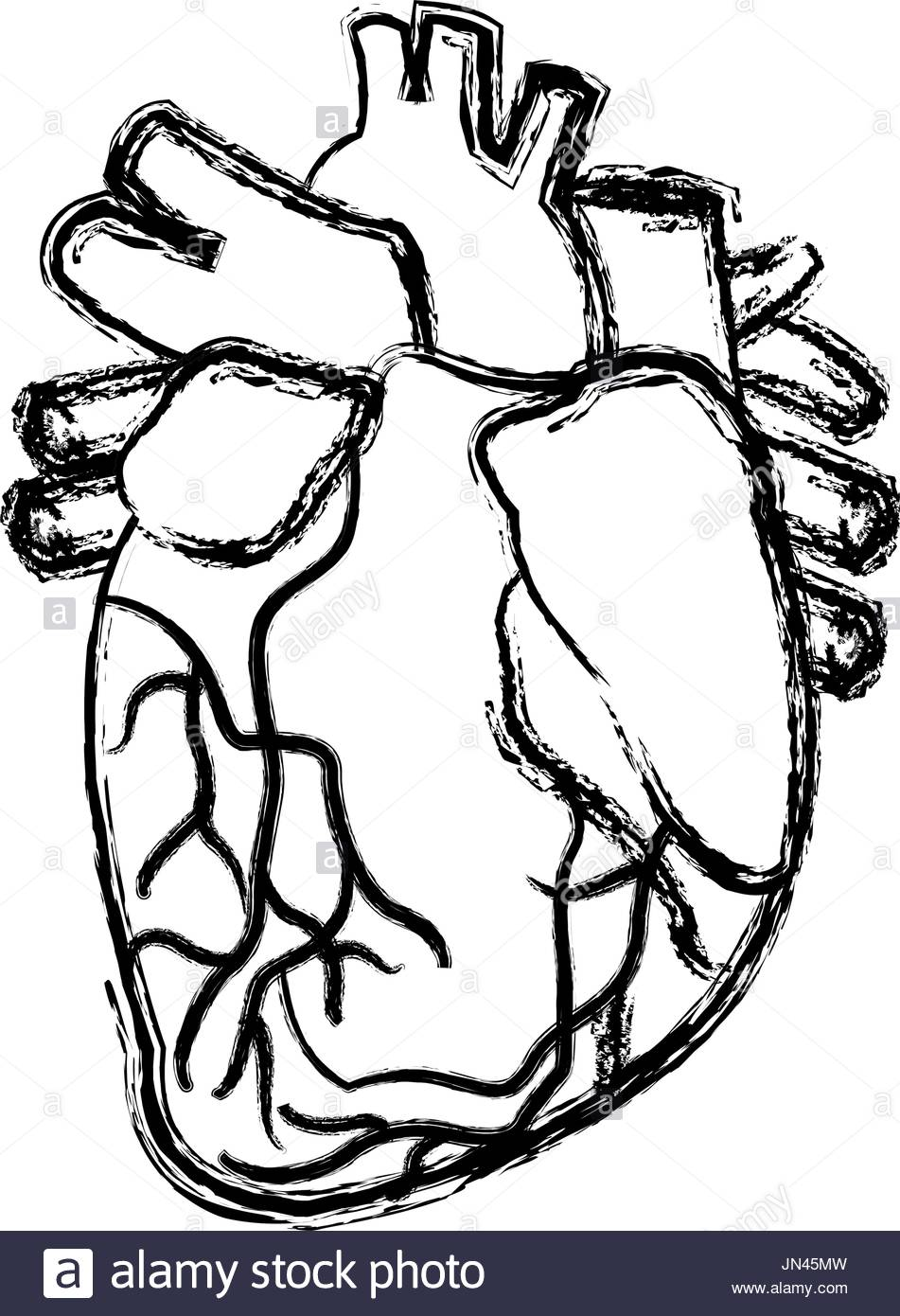 951x1390 Human Heart Black And White Stock Photos Amp Images