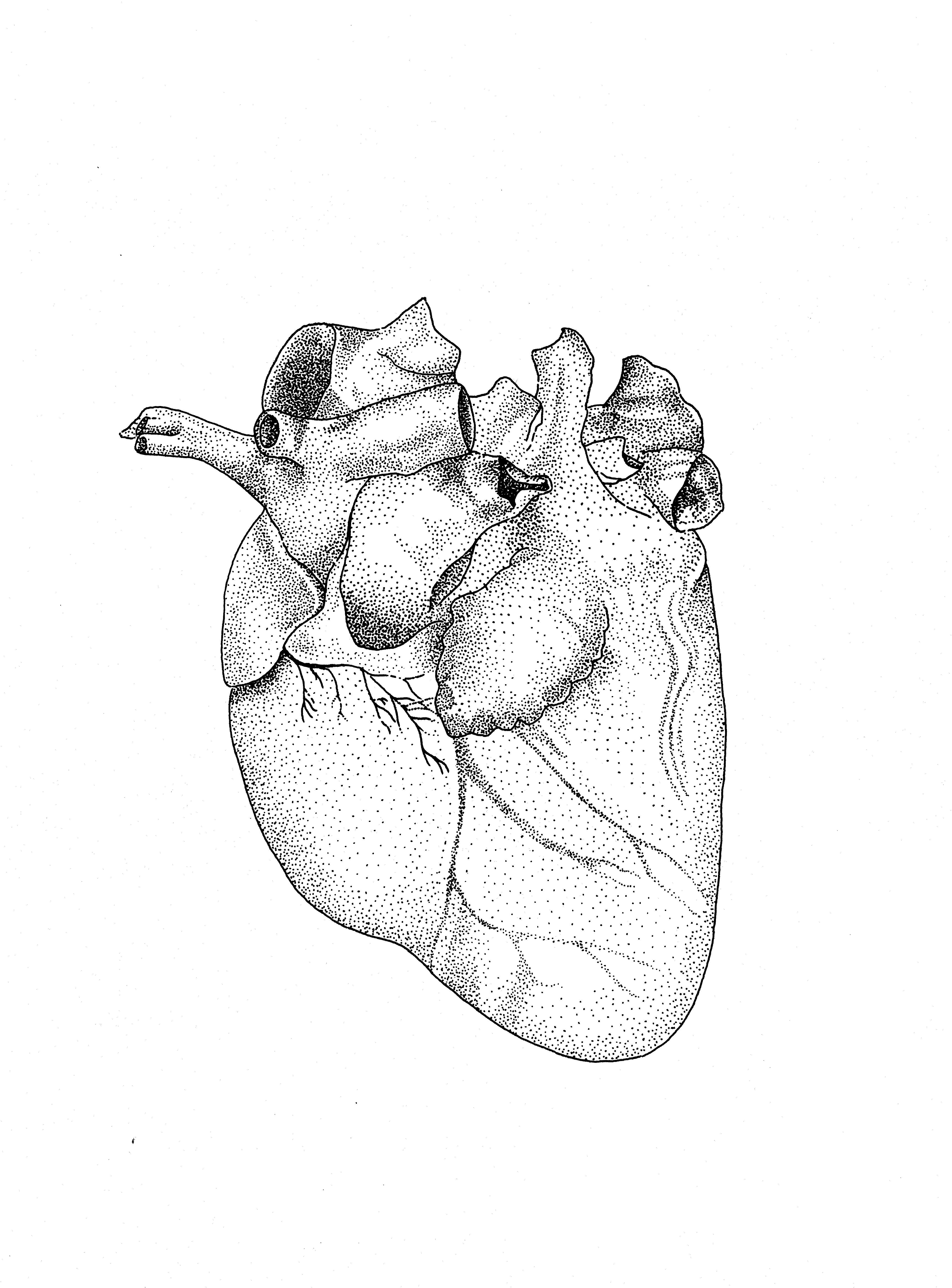 4170x5640 Anatomical Drawing Canine Heart Ovam