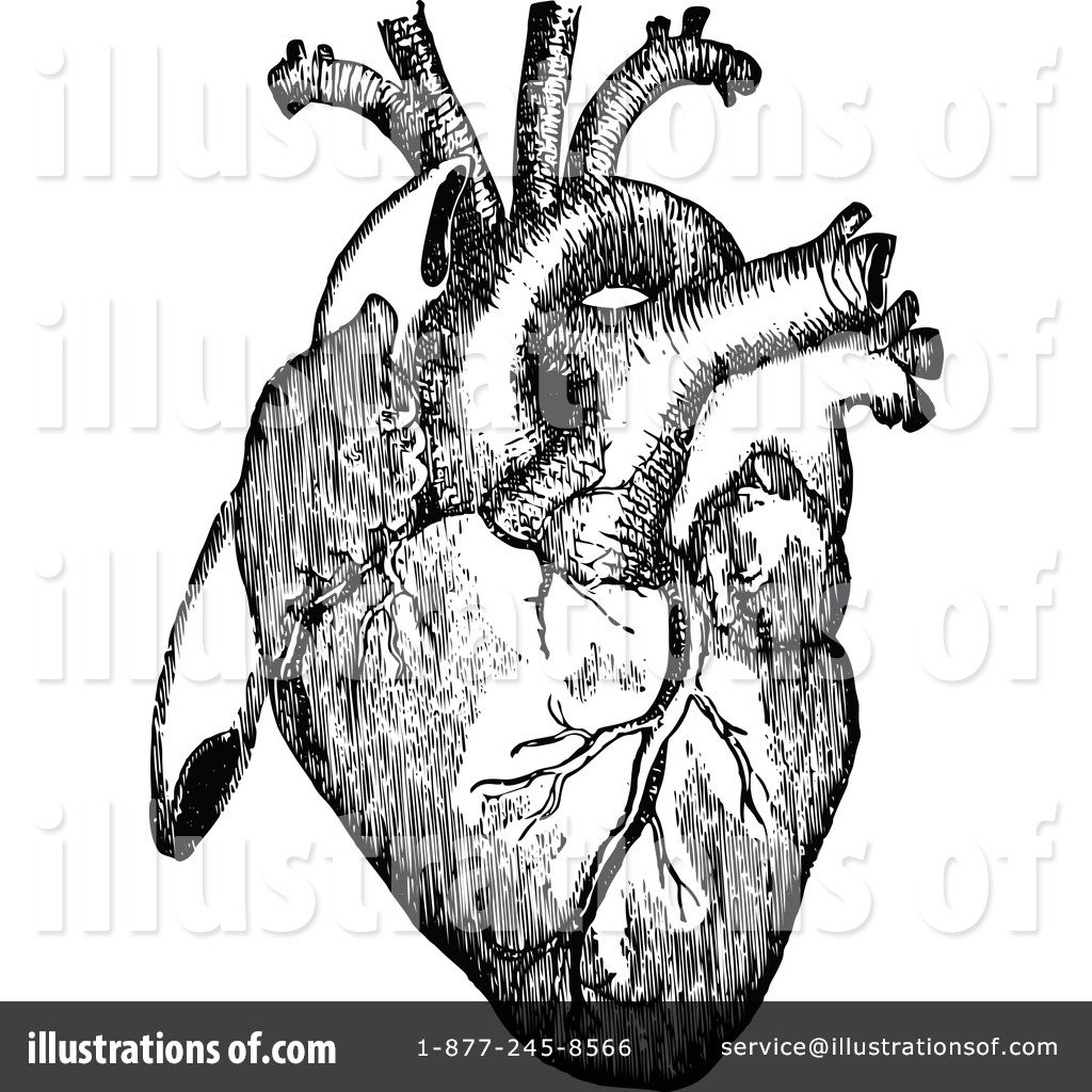 Heart Anatomical Drawing At Getdrawings Free For Personal Use
