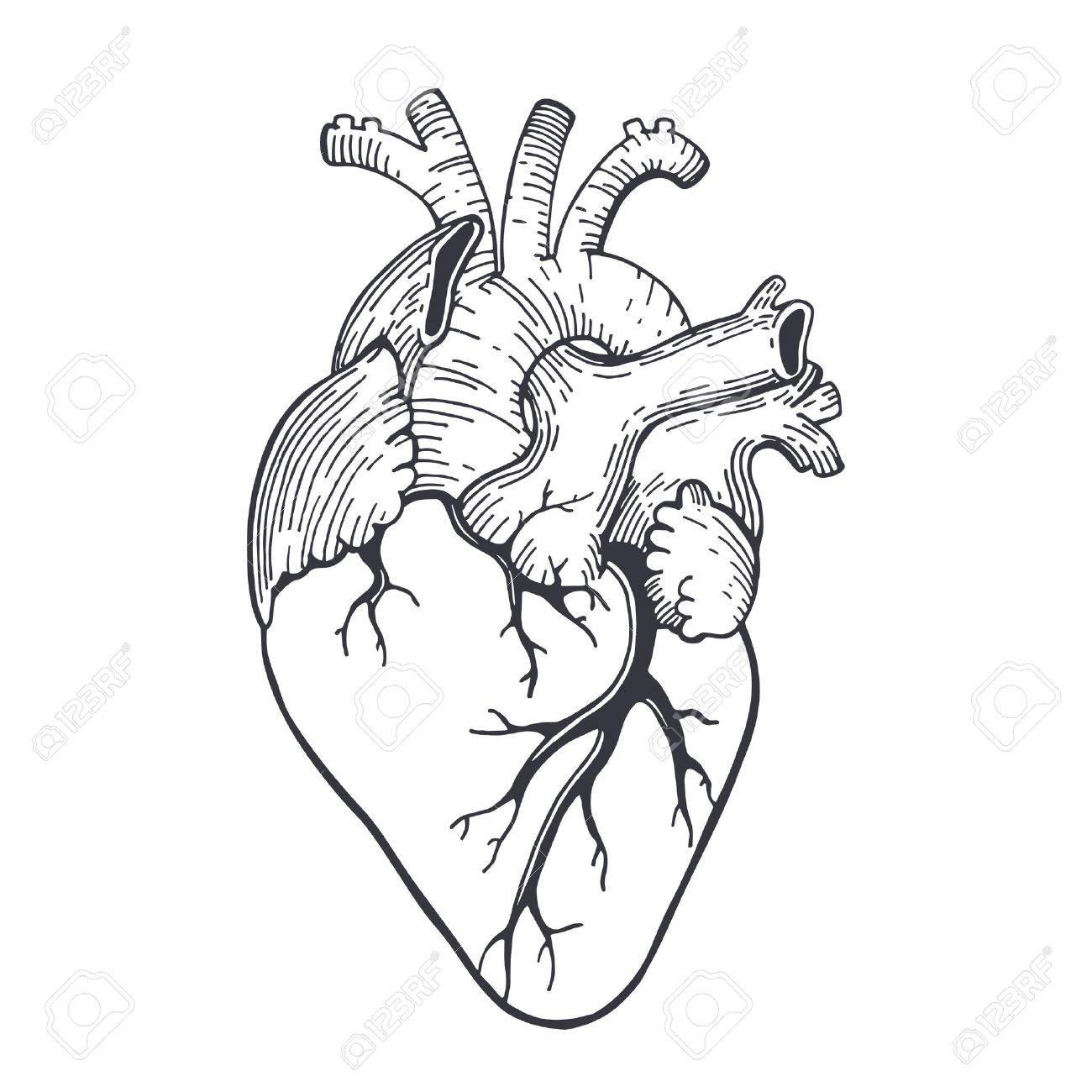 1300x1300 Vector Realistic Anatomical Heart Royalty Free Cliparts, Vectors