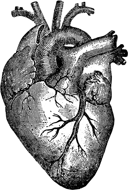 542x800 Vintage Heart Anatomy Stickers By Stilleskygger Redbubble
