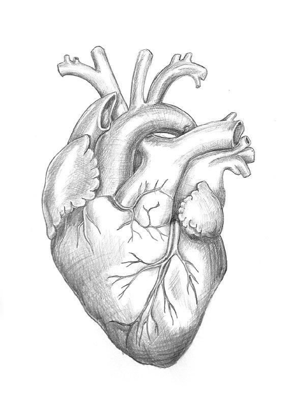 570x777 Anatomy Heart Original Unframed Pencil Drawing