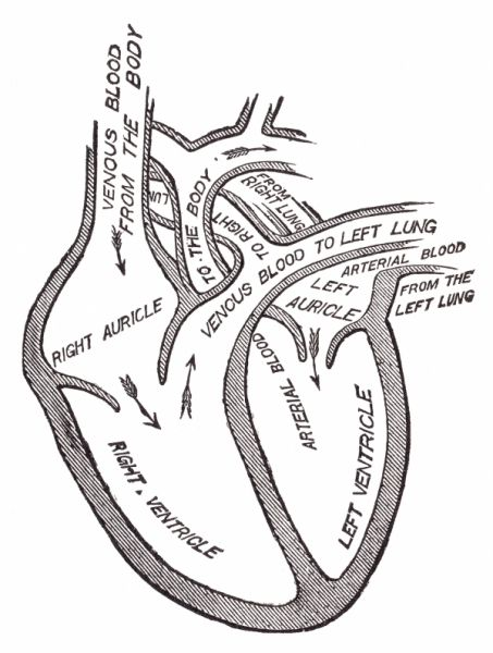 Heart Anatomy Drawing