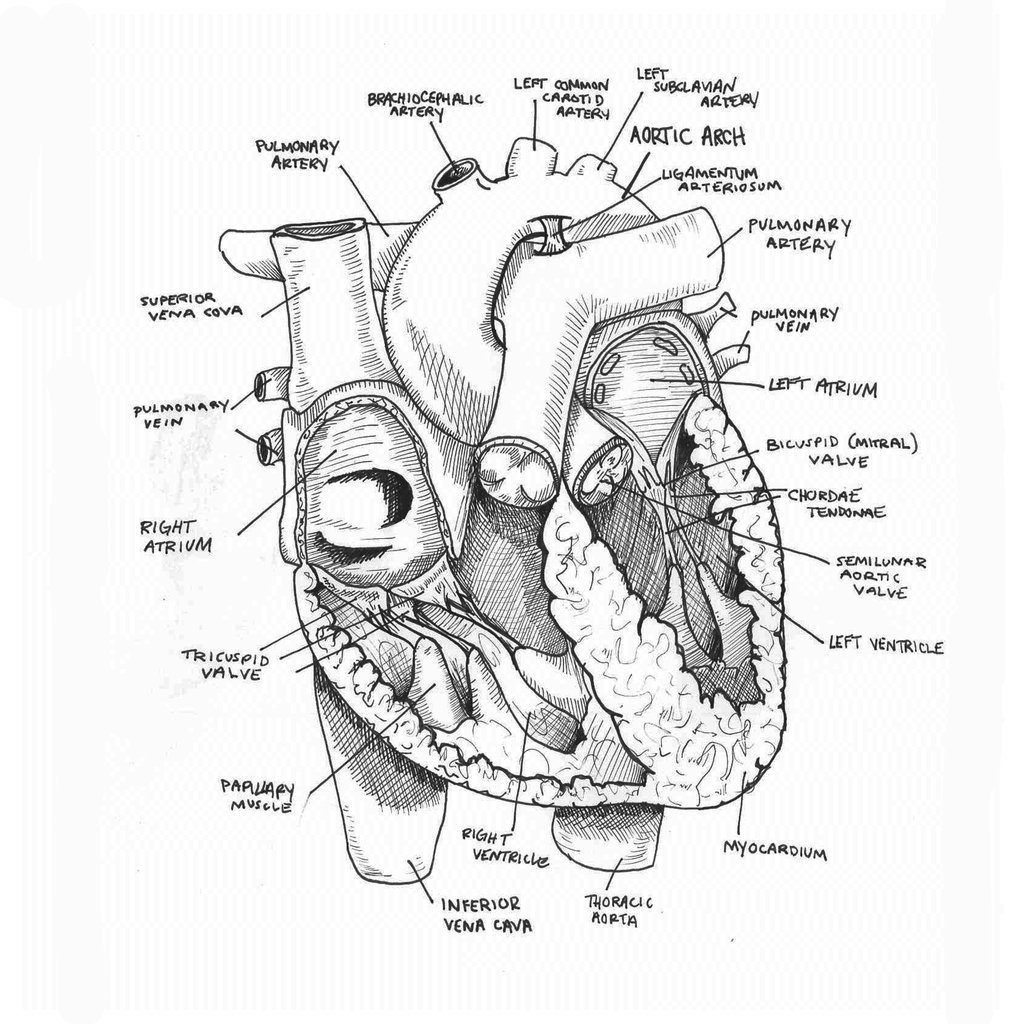 Heart Anatomy Drawing at GetDrawings.com | Free for personal use ...