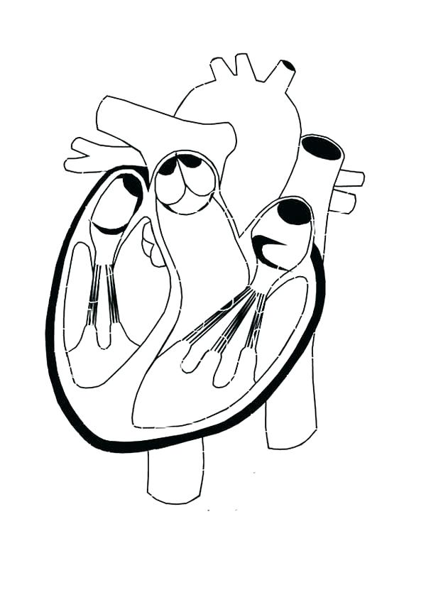 600x848 Heart Anatomy Coloring Pages Healthy Heart In Human Anatomy