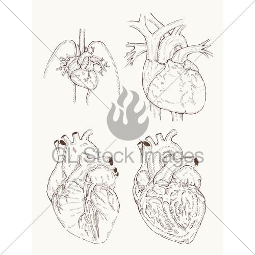 500x500 Heart Anatomy Hand Draw Gl Stock Images
