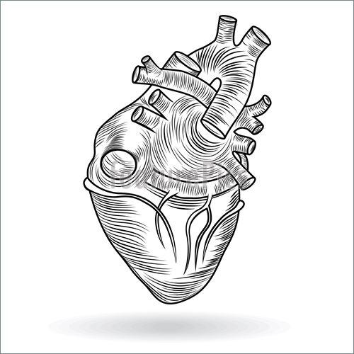 500x500 Human Heart Anatomy Illustration