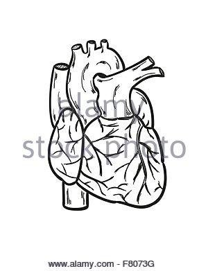 300x391 Heart Anatomy Hand Draw Stock Vector Art Amp Illustration, Vector