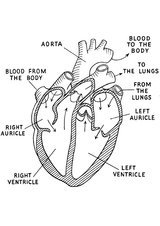 620x875 Coloring Pages Heart Anatomy Page