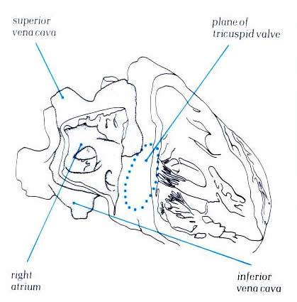 419x425 Anatomy Of The Heart