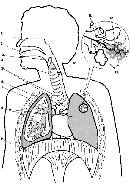 429x619 Habits Of The Heart Lessons Lung Diagram