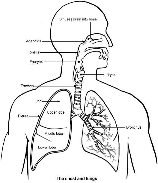 Where Are My Lungs Diagram Block And Schematic Diagrams