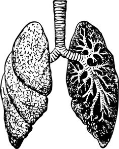 236x294 Lungs And Heart Drawing Lhd02 Healthsanaz Lungs