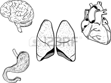450x338 Vector Illustration Of A Brain, Heart, Stomach And Lungs. Each