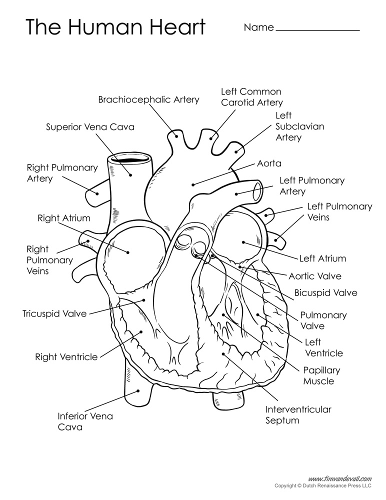 772x1000 Human Heart Diagram