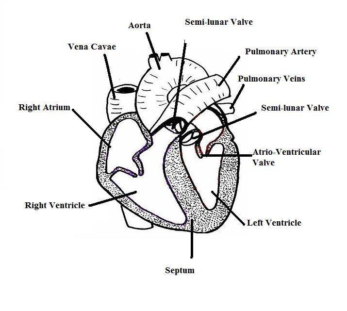 715x641 Human Heart Diagram Without Labels