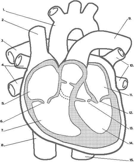 450x544 Unlabeled Heart Diagram Diagrams For All