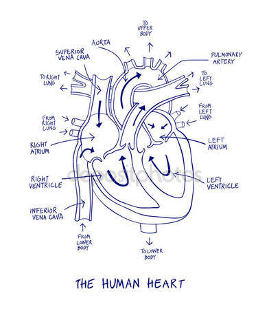 392x449 Diagram Showing Blood Flow Of The Human Heart Stock Vector