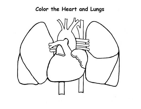 600x463 Human Anatomy Of Heart And Lungs Coloring Pages Bulk Color