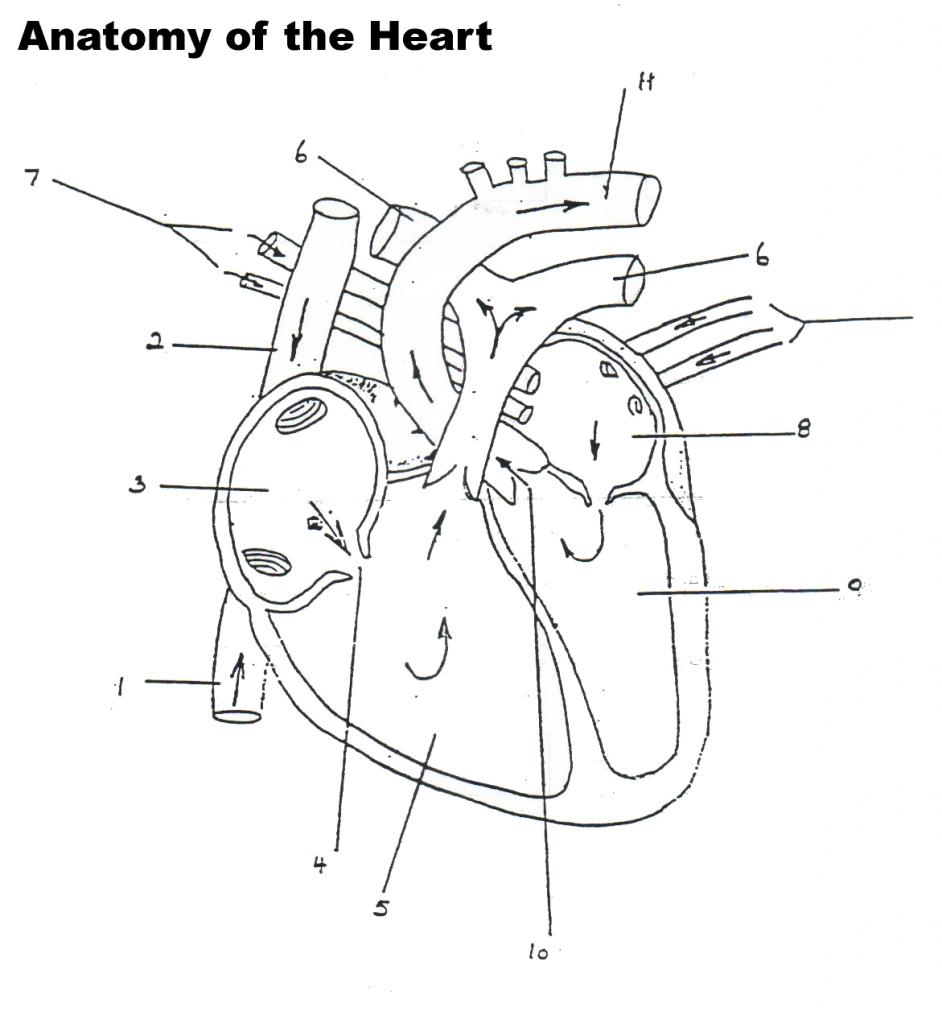 942x1024 Human Heart Blood Flow Diagram Human Heart Diagram Blood Flow