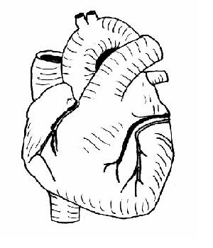 Heart drawing anatomy at getdrawings free for personal use 300x350 the anatomy and physiology of animalsheart worksheet ccuart Choice Image