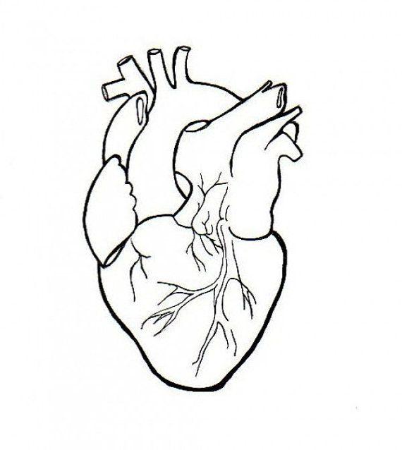 570x638 Real Heart Drawing Real Human Heart Real Heart Drawing
