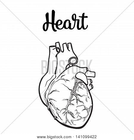 450x470 Anatomical Human Heart, Sketch Hand Image Amp Photo Bigstock