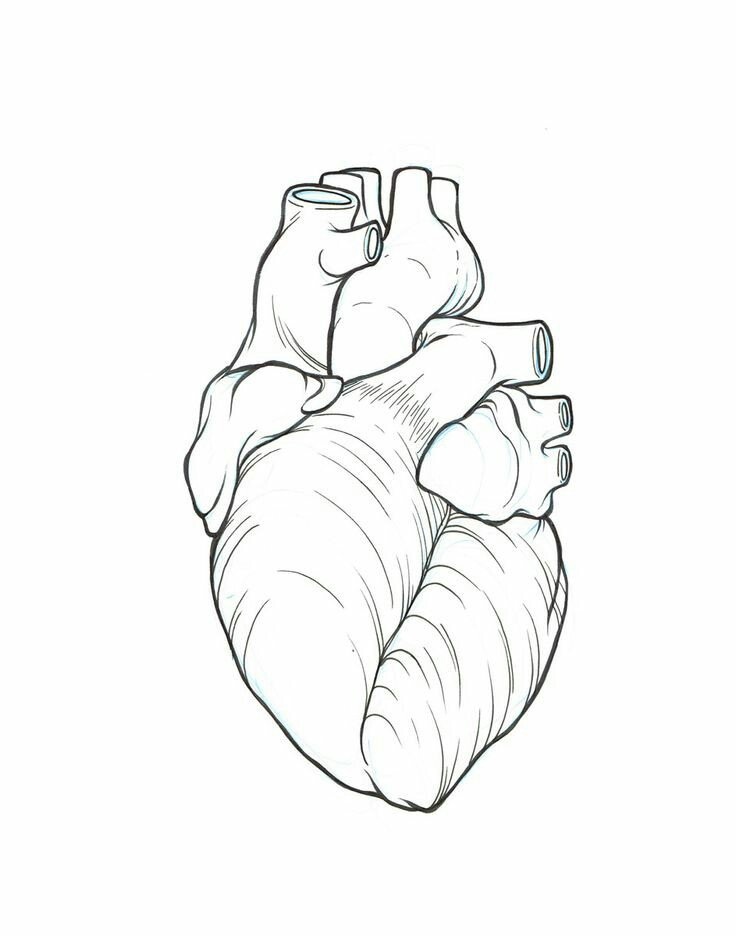 736x936 Anatomically Correct Heart Line Art Sketches