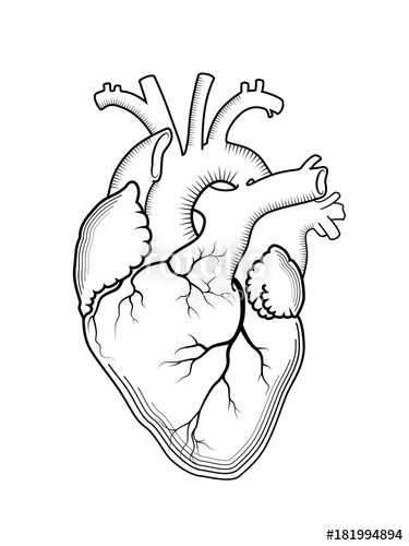 375x500 Heart. The Internal Human Organ, Anatomical Structure. Engraved