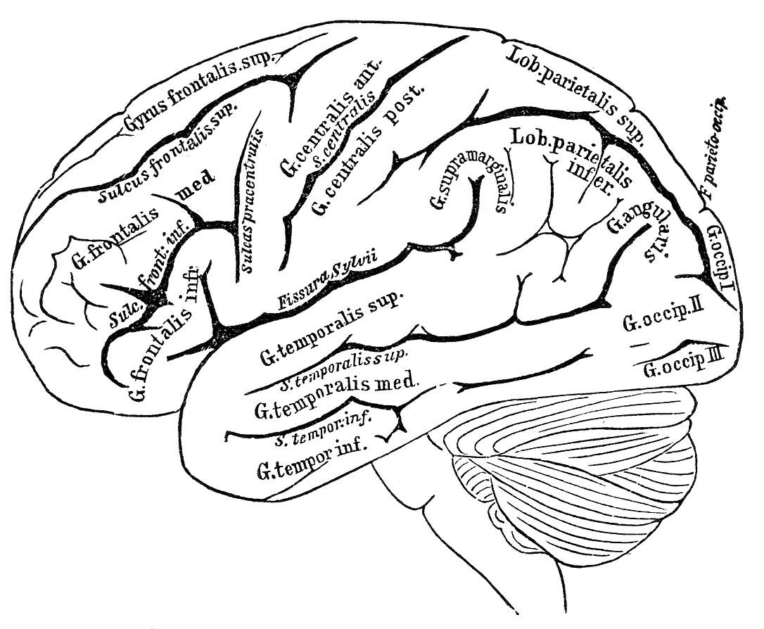 1086x894 Human Brain Drawing Anatomy