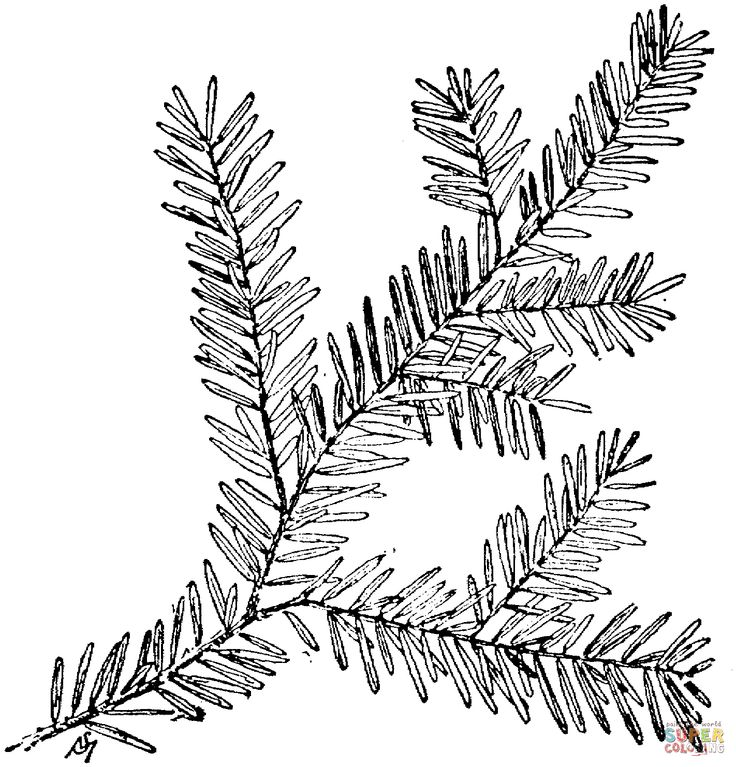 736x767 Canadian Hemlock Branch Coloring Page
