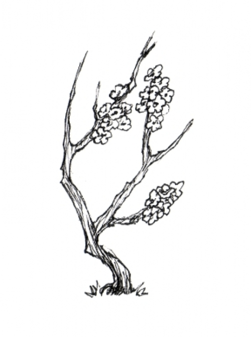 500x670 Tree Drawing Picture Black And White Plum Imagephoto Art Stuff