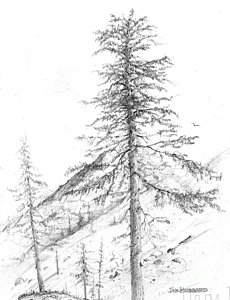 230x300 Western Hemlock Drawing By Jim Hubbard
