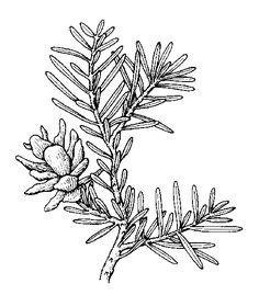 236x269 Western Hemlock Trees Westerns