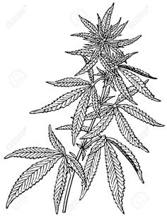 236x305 Marijuana Plant Drawing
