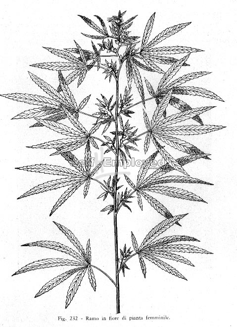 479x659 Cannabis Drawings Self Hemployed Cannabis, Hash Amp Hemp Gallery