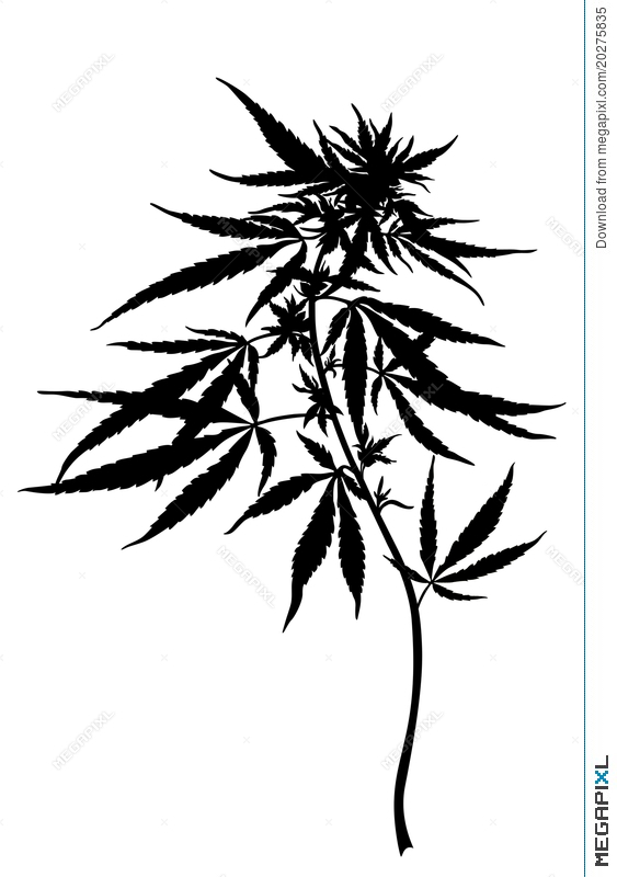 563x800 Cannabis Sativa Plant Illustration 20275835