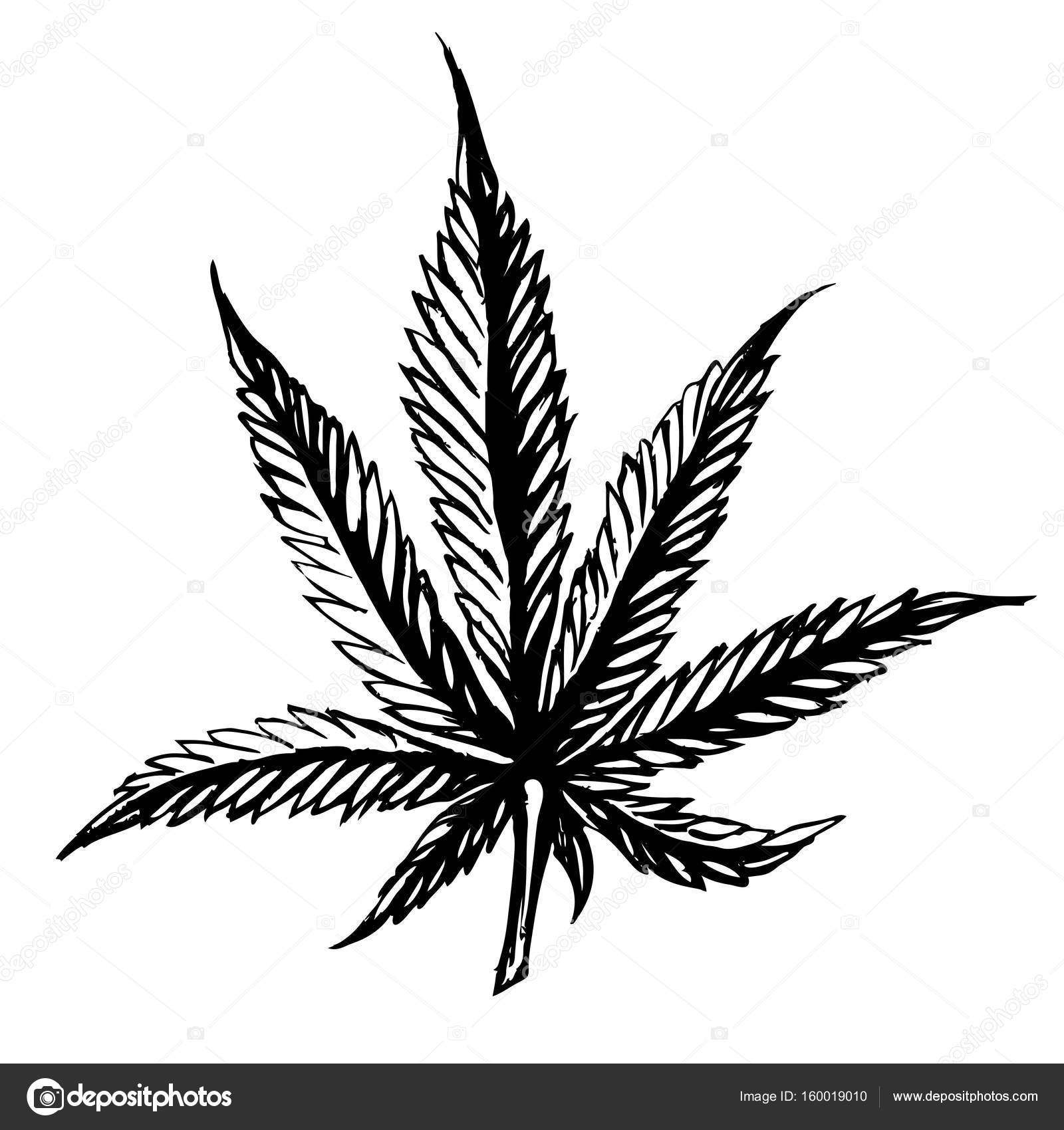 1600x1700 Cannabis Leaves Sketch Hand Drawn Isolated On White Background