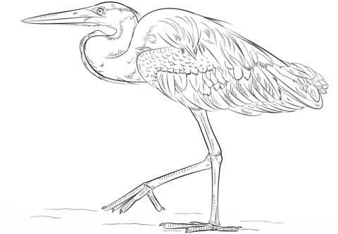 480x333 Great Blue Heron Coloring Page Free Printable Coloring Pages
