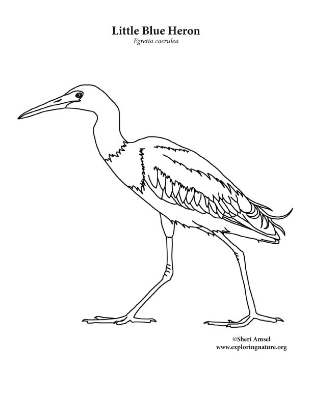 612x792 Heron (Little Blue) Coloring Page