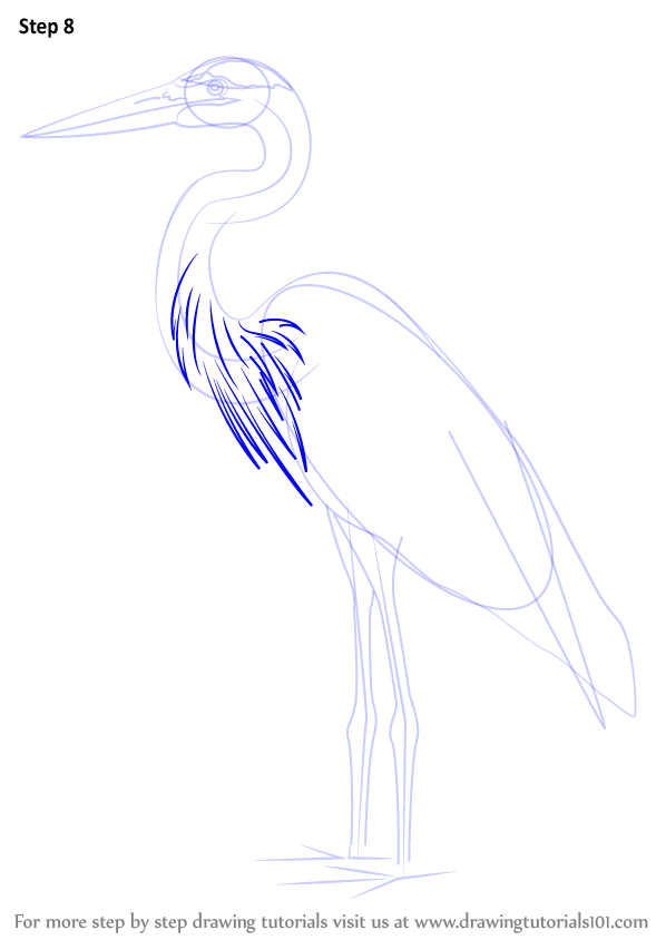 598x844 Learn How To Draw A Great Blue Heron (Birds) Step By Step