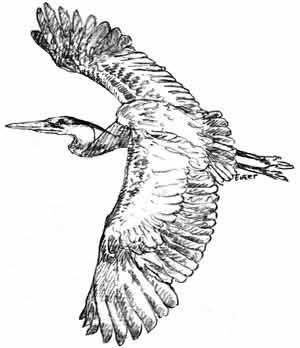 300x348 Great Blue Heron Printable