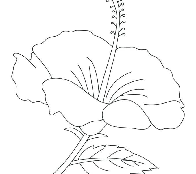 678x600 Hibiscus Coloring Page Line Drawings Hibiscus Coloring Pages