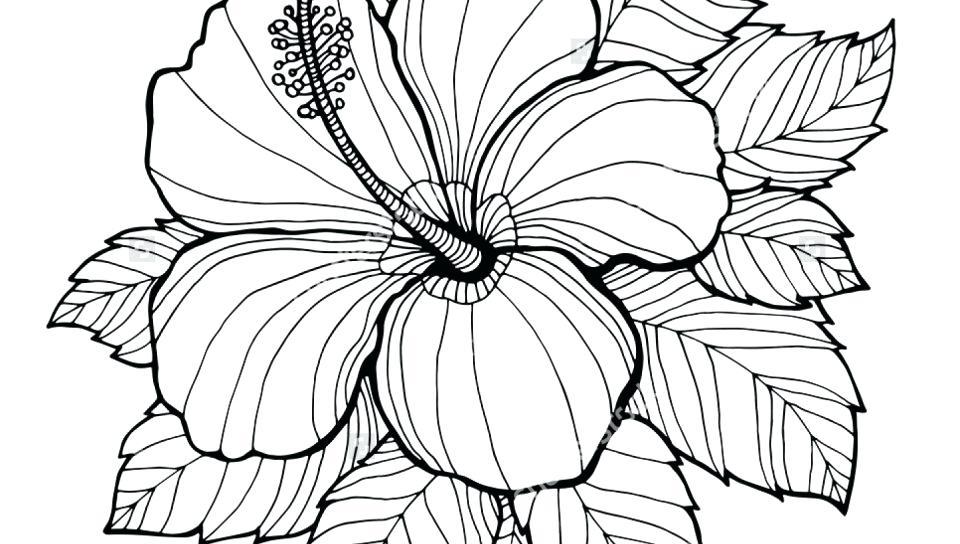 960x544 Hibiscus Flower Coloring Page Hibiscus Flower Drawing Coloring