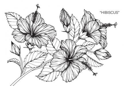 450x300 Hibiscus Flower Drawing Sketch Black White Line Art Stock Vector
