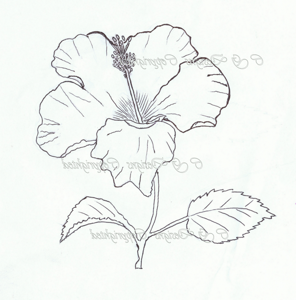 1012x1024 Hibiscus Flowers Sketching Images Hibiscus Flower Pencil Drawing